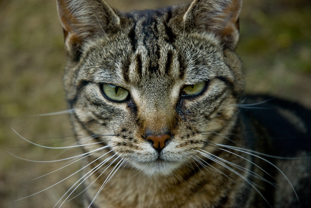 ICMSTUDIOS - This is a photo of my mischievous cat Dennis. No alterations have been done other than slight tweaking of the contrast and colour tone.