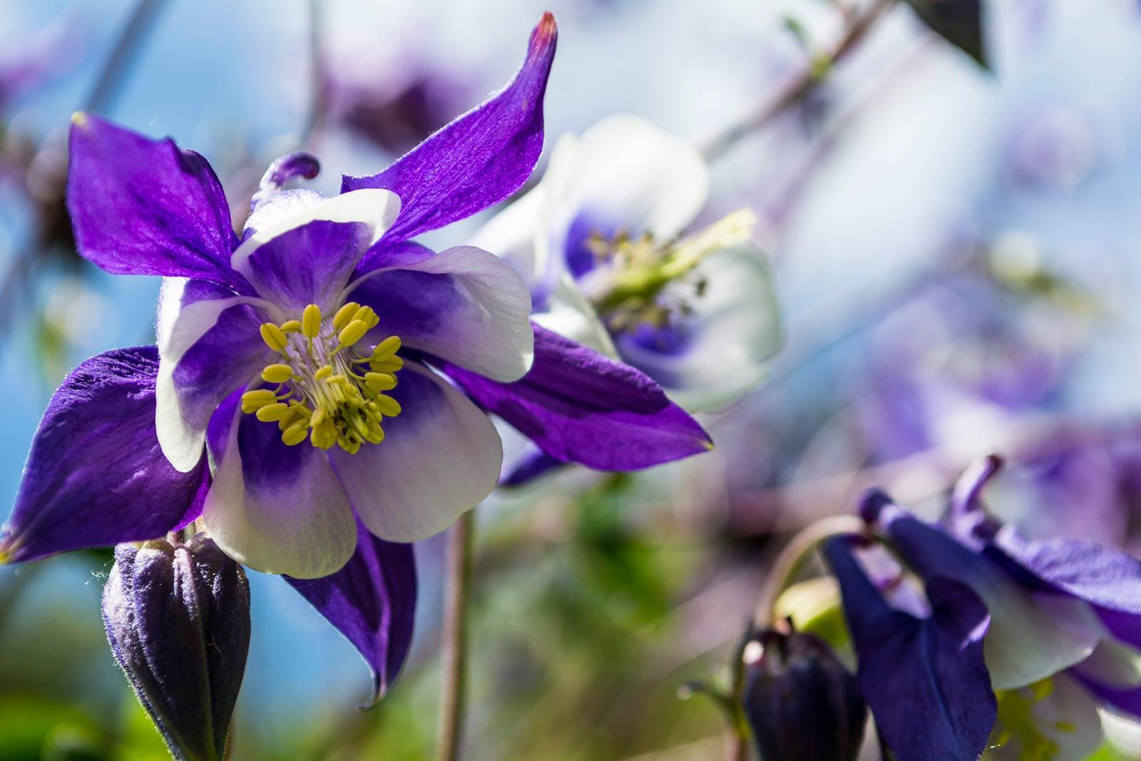 ICMSTUDIOS - Lovely Blue flower - a little bit of depth of field.