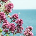 Pink Flowers By the Sea
